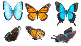 Blauwe morphomonarch en Overzees Groene Swallowtail Royalty-vrije Stock Afbeeldingen