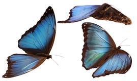 Blauwe morphos Stock Foto's