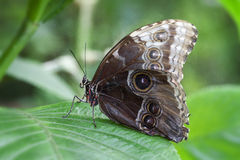 Blauwe Morphus-vlinder stock fotografie