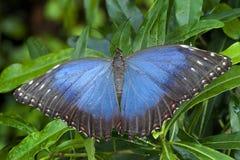 Blauwe Morphus-vlinder stock afbeeldingen