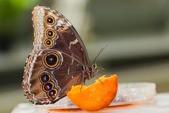 Blauwe Morphus-vlinder royalty-vrije stock afbeeldingen