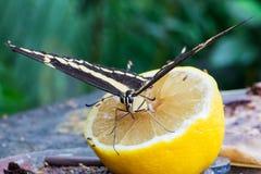 Blauwe Morphus-vlinder royalty-vrije stock foto