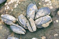 Blauwe mosselen in bijlage aan rotsen met limpet aquatische slak Royalty-vrije Stock Foto's