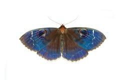 Blauwe motten stock afbeelding