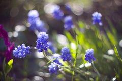 Blauwe muscari Stock Fotografie