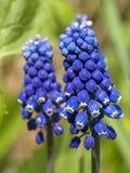 Blauwe muscari Stock Foto's