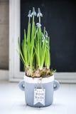 Blauwe muscari Royalty-vrije Stock Foto's
