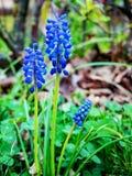 Blauwe Muscari - bloeiende de lentebloemen Royalty-vrije Stock Afbeeldingen