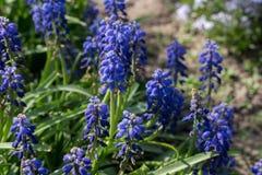 Blauwe Muscari-bloemen in de lentetuin stock foto's