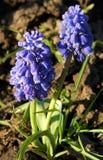 Blauwe Muscari botryoides royalty-vrije stock foto's