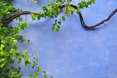 Blauwe muur met klimop Royalty-vrije Stock Foto's