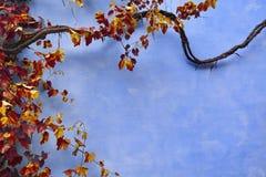 Blauwe Muurtextuur met Klimop Stock Foto's
