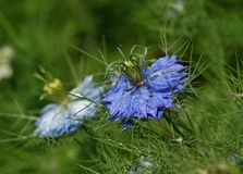 Blauwe Nigella Damascena Royalty-vrije Stock Afbeelding