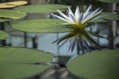 Blauwe Nile Waterlily (Nymphaea Caerulea) Stock Foto