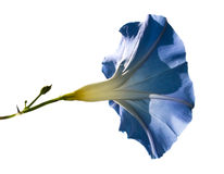 Blauwe ochtend-glorie Stock Fotografie