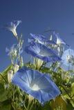 Blauwe ochtendgloriën Royalty-vrije Stock Fotografie