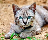 Blauwe ogen Binnenlandse Kat Royalty-vrije Stock Foto's