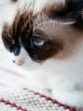 Blauwe ogen Perzische kat Royalty-vrije Stock Foto's