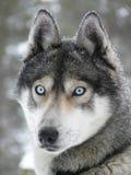 Blauwe ogen schor hond stock afbeelding