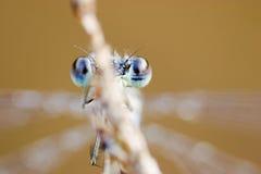 Blauwe ogen van een libel Stock Foto