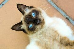 Blauwe ogenkat stock afbeelding