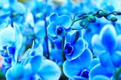 Blauwe Orchideeën royalty-vrije stock foto's