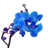 Blauwe orchidee Royalty-vrije Stock Afbeelding