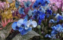 Blauwe Orchidee stock foto's