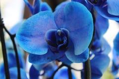 Blauwe orchidee, bloem Royalty-vrije Stock Fotografie