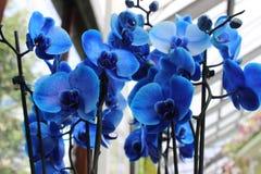 Blauwe orchidee, bloem Stock Foto's