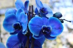 Blauwe orchidee, bloem Royalty-vrije Stock Foto's