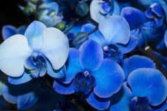 Blauwe Orchidee?n royalty-vrije stock afbeelding