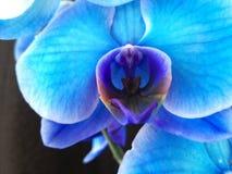 Blauwe orchidee op zwarte achtergrond royalty-vrije stock afbeeldingen