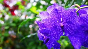 Blauwe Orchidee royalty-vrije stock afbeeldingen
