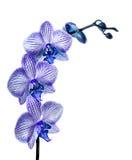 Blauwe orchideebloemen Royalty-vrije Stock Afbeelding