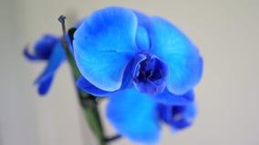 Blauwe Orhideea op grijze achtergrond Royalty-vrije Stock Afbeeldingen