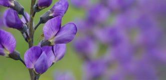 Blauwe panoramische wild-indigo Royalty-vrije Stock Foto