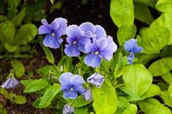 Blauwe pansies Royalty-vrije Stock Foto's