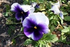 Blauwe pansiesmacro in Gr Retiro royalty-vrije stock foto's