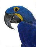 Blauwe papegaai Stock Foto