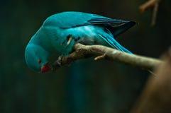 Blauwe papegaai gekraste tak Stock Foto