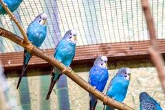 Blauwe papegaaien die op een tak in een vogelhuis zitten Stock Foto's