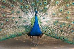 Blauwe pauw Royalty-vrije Stock Afbeeldingen