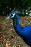 Blauwe pauw in amfasportret Royalty-vrije Stock Afbeeldingen