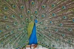 Blauwe Peafowl Stock Fotografie