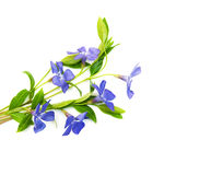 Blauwe Perwinkle-bloemen Stock Fotografie