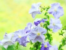 Blauwe petuniabloemen royalty-vrije stock afbeelding