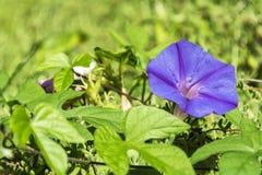 Blauwe petuniabloemen onder groene vegetatie Royalty-vrije Stock Fotografie