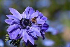 Blauwe Poppy Anemone Flower met een Bij royalty-vrije stock afbeeldingen
