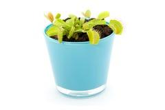 Blauwe pot met Dionaea Stock Afbeeldingen